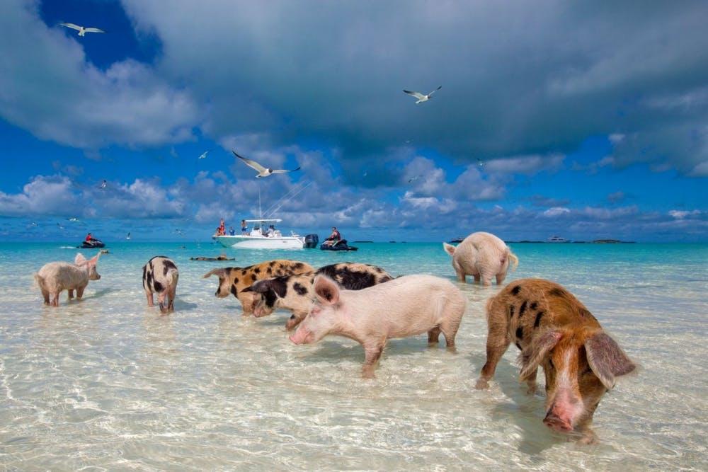 أغرب تصرفات الحيوانات : شاطئ الخنزير بيج ماي - جزر البهاما