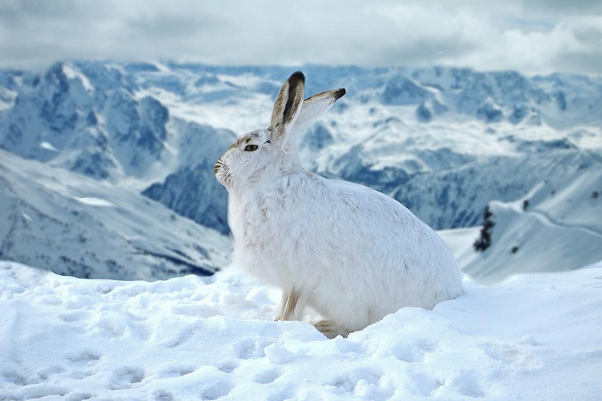 الأرنب الجبلي