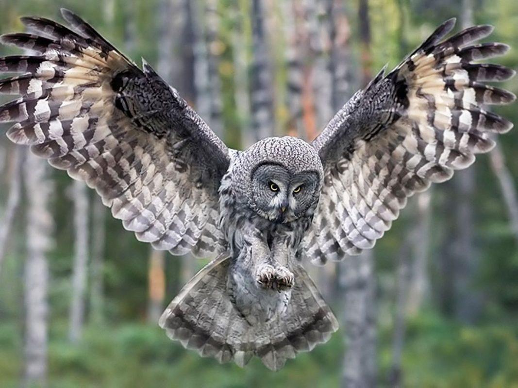 طائر البوم