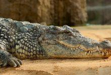 Photo of معلومات عن التماسيح: أشرس أنواع الزواحف