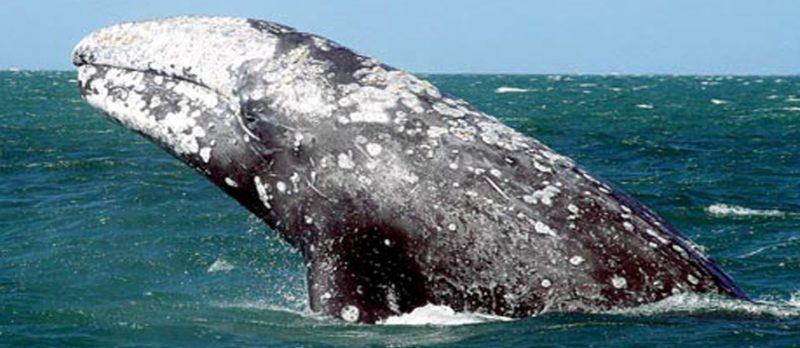 الحيتان البالينية