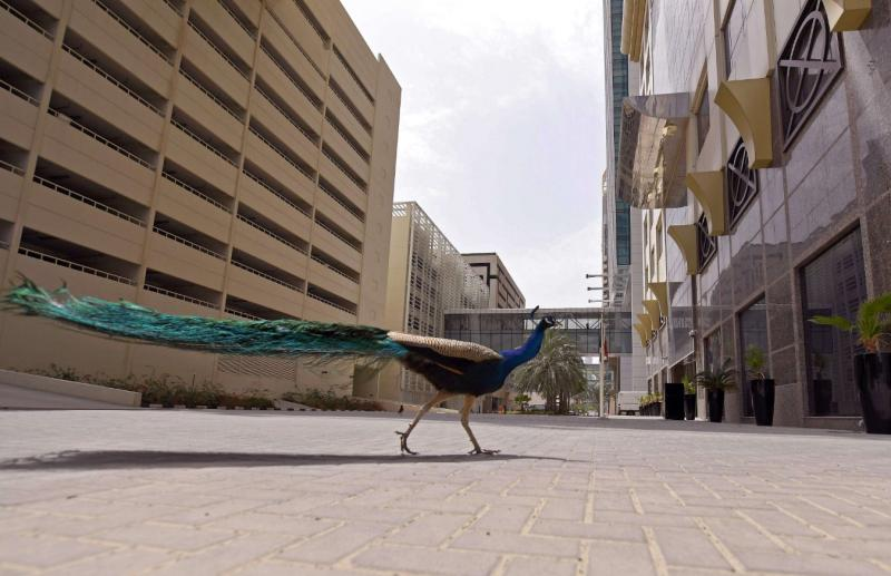 الطاووس في دبي