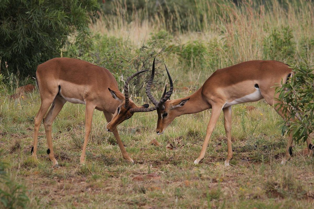 حيوانات جبال الألب : الغزال الأحمر