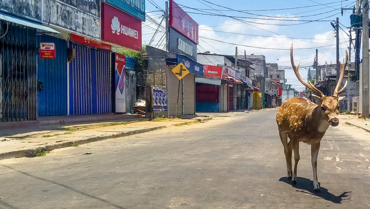 الغزلان في سريلانكا