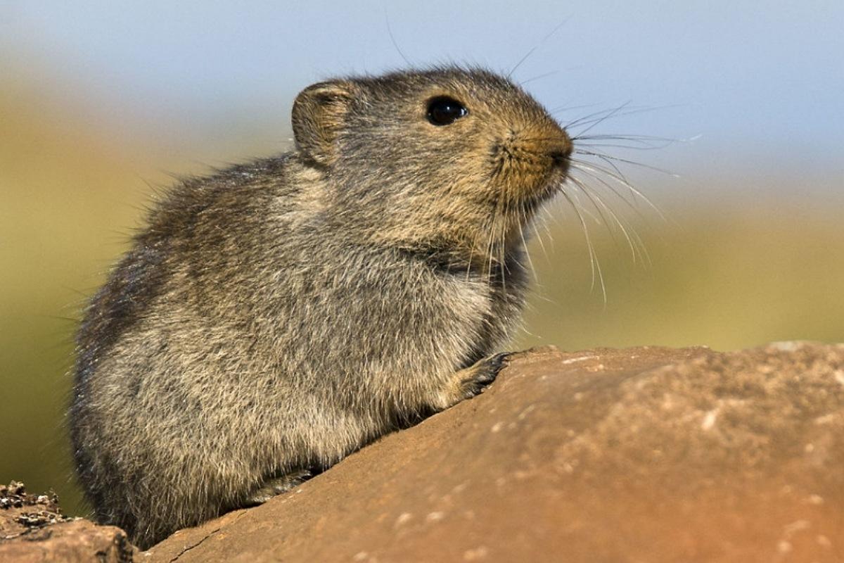 فأر الجبل