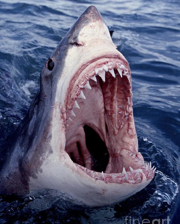 أسماك القرش الأبيض