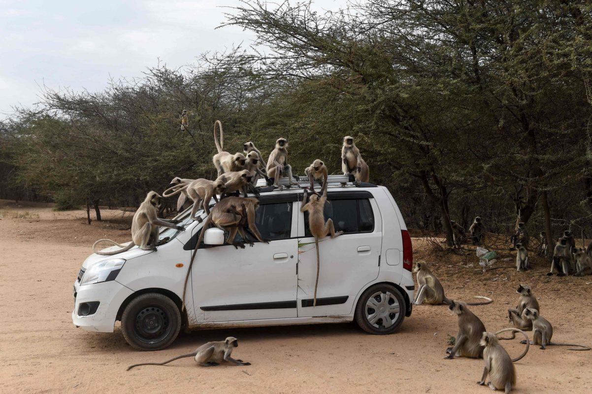 القرود في أحمد آباد