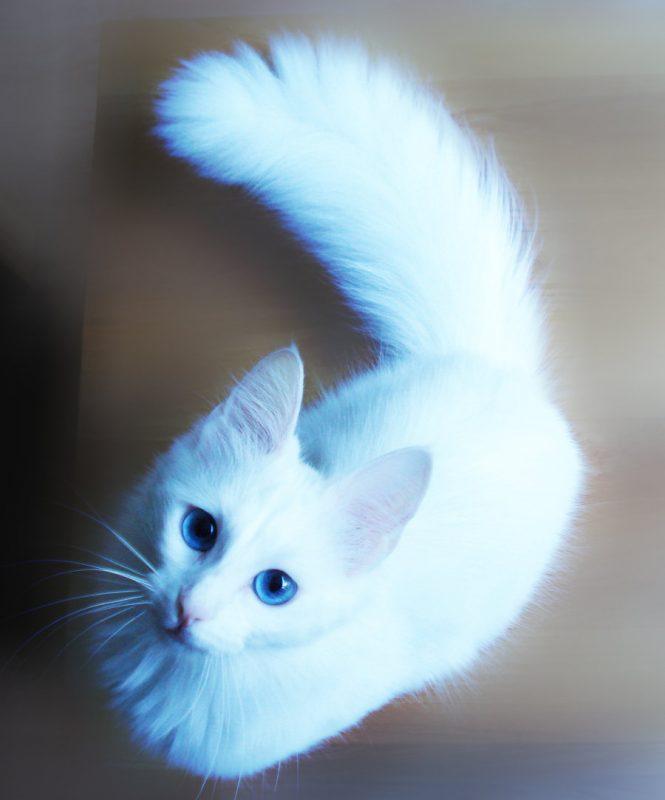 أفضل سلالات القطط المنزلية : القط أنغورا التركي