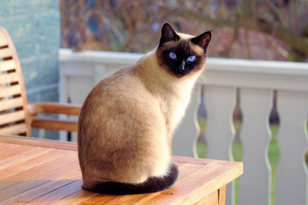 أفضل سلالات القطط المنزلية : القط السيامي