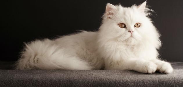 القط الفارسي (الشيرازي)