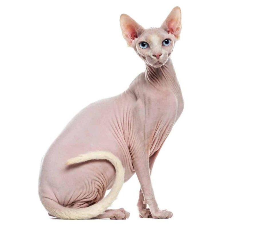 أفضل سلالات القطط المنزلية : القط سفينكس
