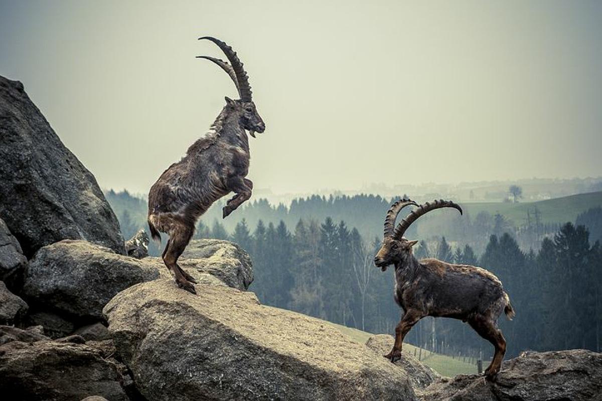 حيوانات جبال الألب : الوعل الألبي