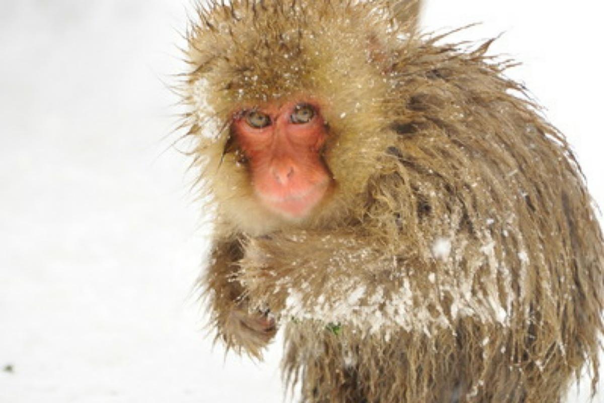 أفضل الأماكن للزيارة في اليابان : حديقة القرد جيجوكوداني