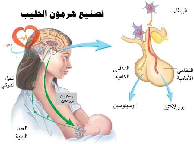 الغدد الصماء فى الجسم أنواع و أهم وظائف الغدد الصماء مقالات طبية منصة القارئ العربى