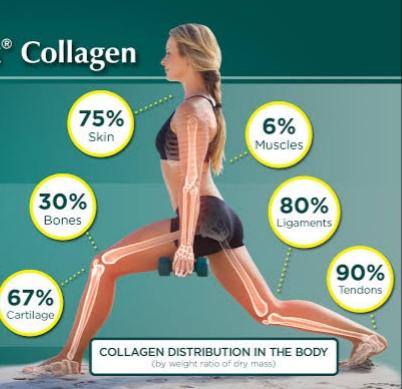 توزيع الكولاجين في الجسم