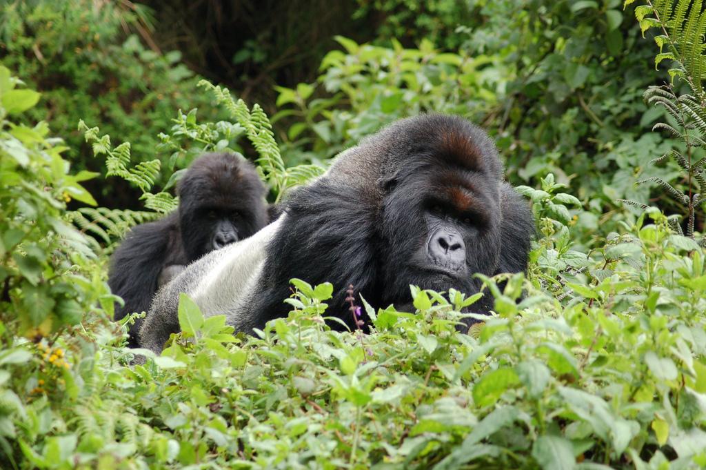جبال الغوريلا في رواندا