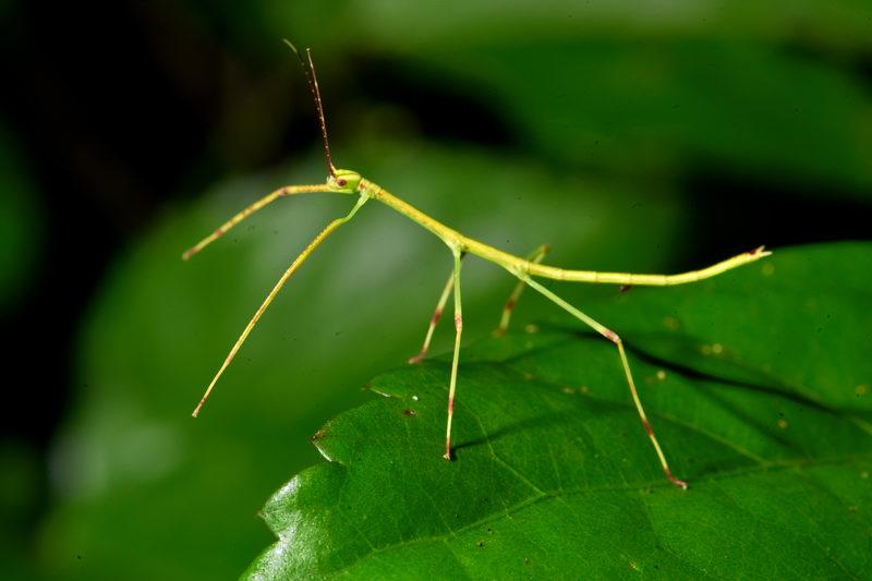 حشرة العصا اغرب الحيوانات الاليفة في العالم