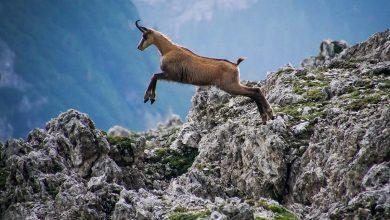 Photo of حيوانات جبال الألب : أبرز الحيوانات و الزواحف و الطيور