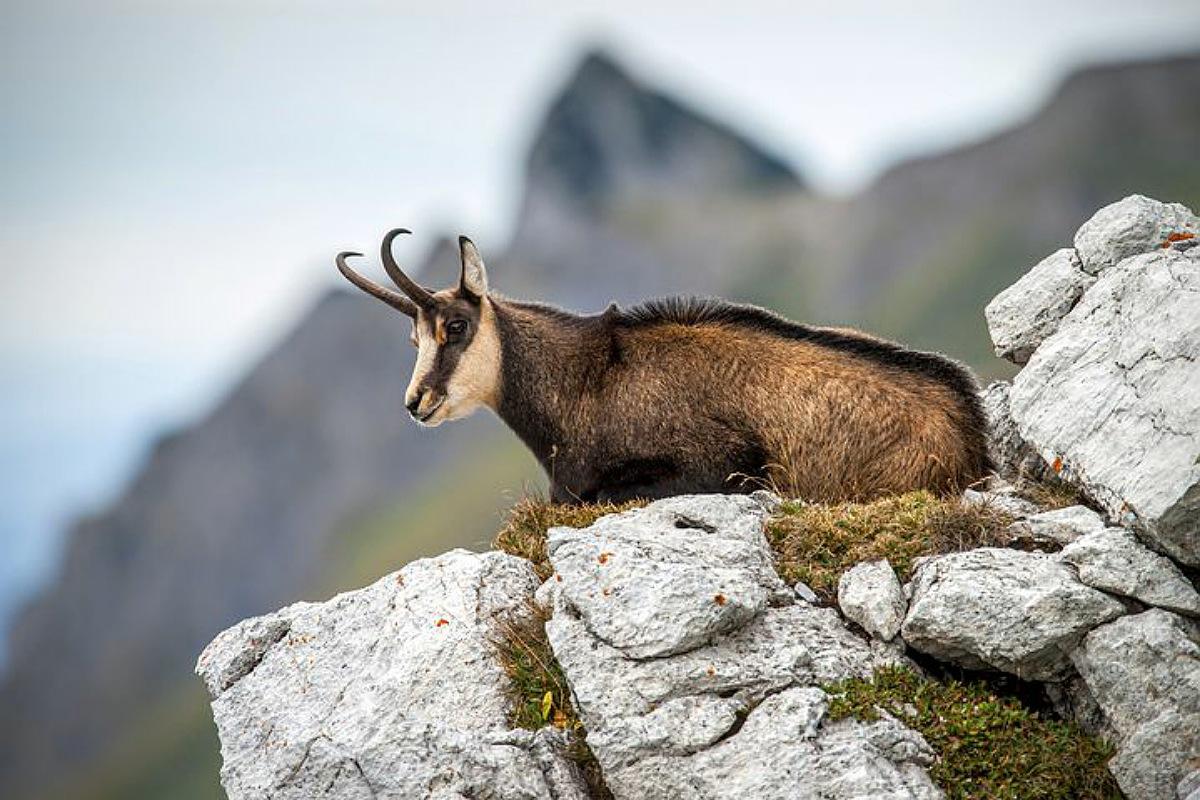 حيوانات جبال الألب : الشمواه