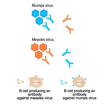 خلايا ب المناعية