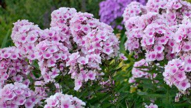 Photo of أنواع من زهور الفلوكس