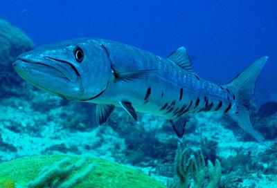 سمكة البراكودا السوداء