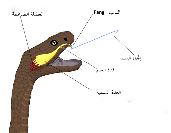 لماذا لا تتأثر الثعابين بسمومها ؟