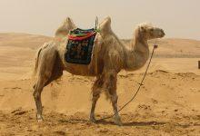 Photo of معلومات عن الجمل وحقائق ممتعة لا نعرفها عن الإبل