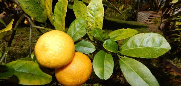 زراعه شجره الليمون