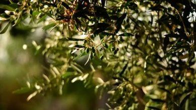 Photo of زراعة أشجار الزيتون إرث عائلي : إليك فوائد امتلاك شجرة زيتون