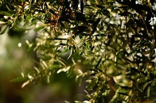 زراعة أشجار الزيتون