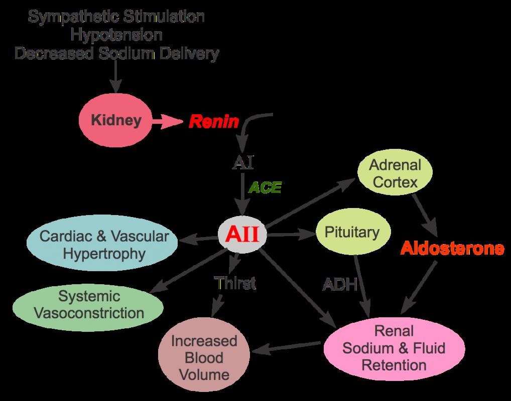 طريقة عمل مثبطات الإنزيم المحول للأنجيوتنسين
