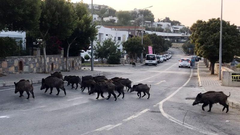 عجائب و غرائب الحيوانات : خنازير برية في برشلونة