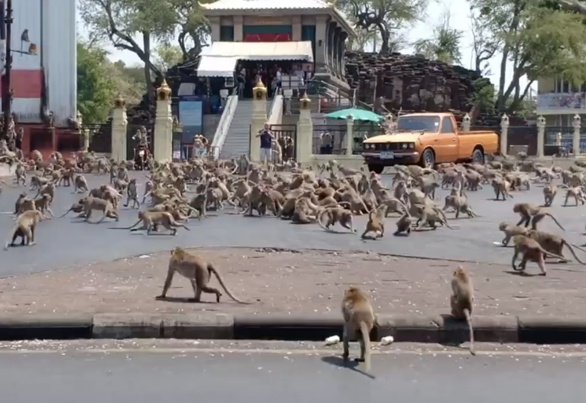 عجائب و غرائب الحيوانات : معركة بين القرود في تايلاند