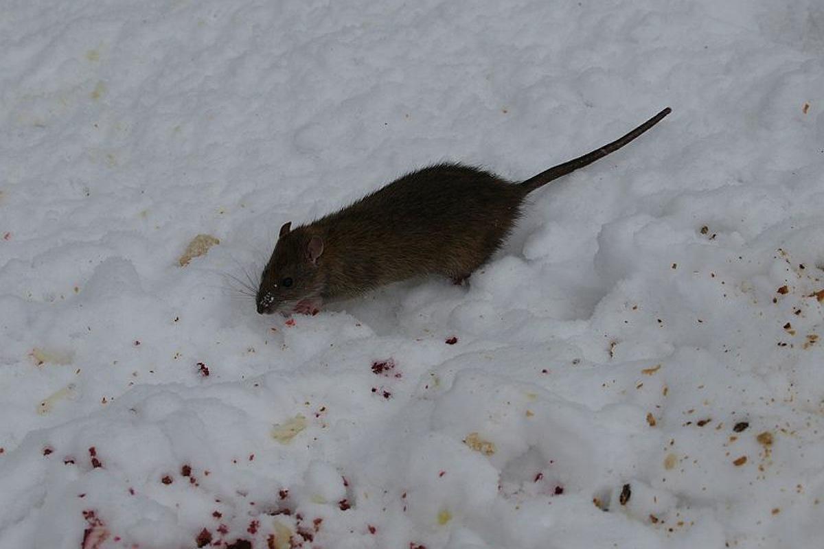 فأر الجليد