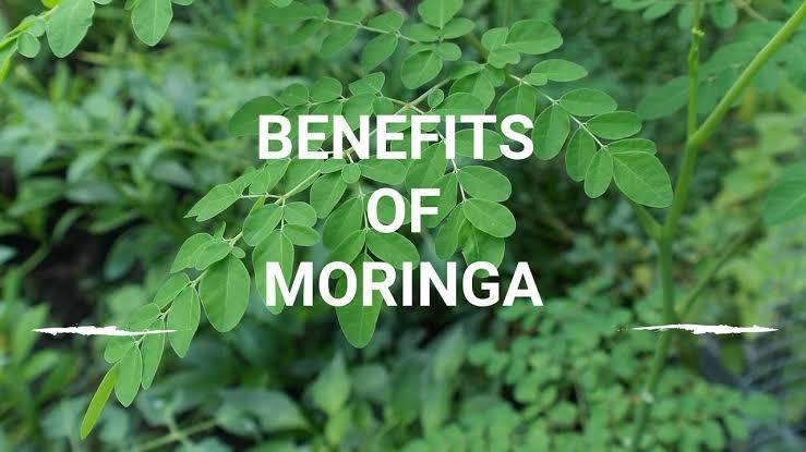 فوائد المورينجا