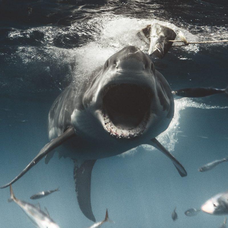 أخطر أنواع أسماك القرش