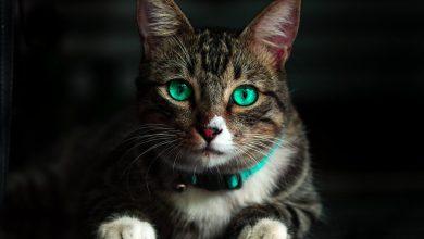 Photo of تسمم القطط ، الاعراض و طرق العلاج المناسبة