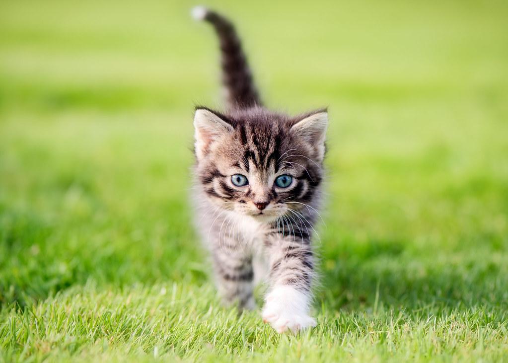 أفضل سلالات القطط المنزلية التي يمكن تربيتها بسهولة
