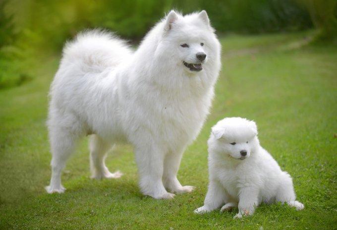 كلب السامويد