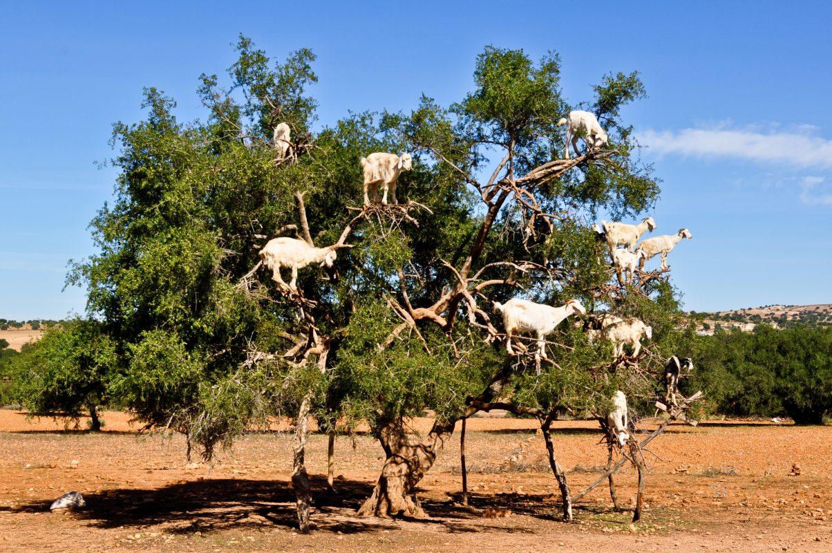 أغرب تصرفات الحيوانات : شجرة ماعز المغرب - تمري - المغرب