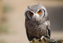 Photo of معلومات عن طائر البوم : حقائق غريبة و مثيرة عن البوم
