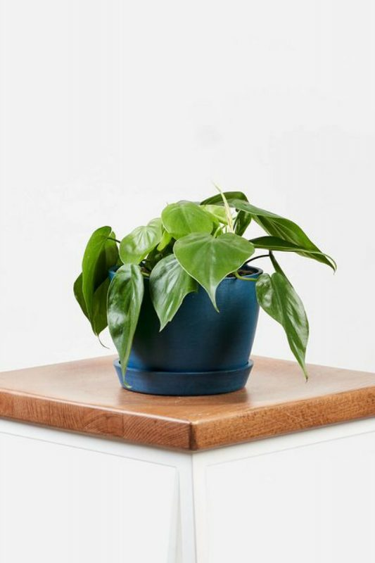 نباتات تناسب غرفة الحمام : نبات ورقة القلب فيلوديندرون
