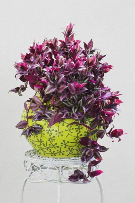 نبات الترادسكانتيا زبرينا (فضية)