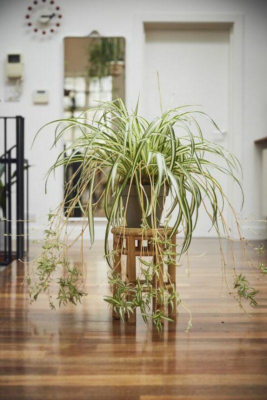 نباتات تناسب غرفة الحمام : نبات العنكبوت