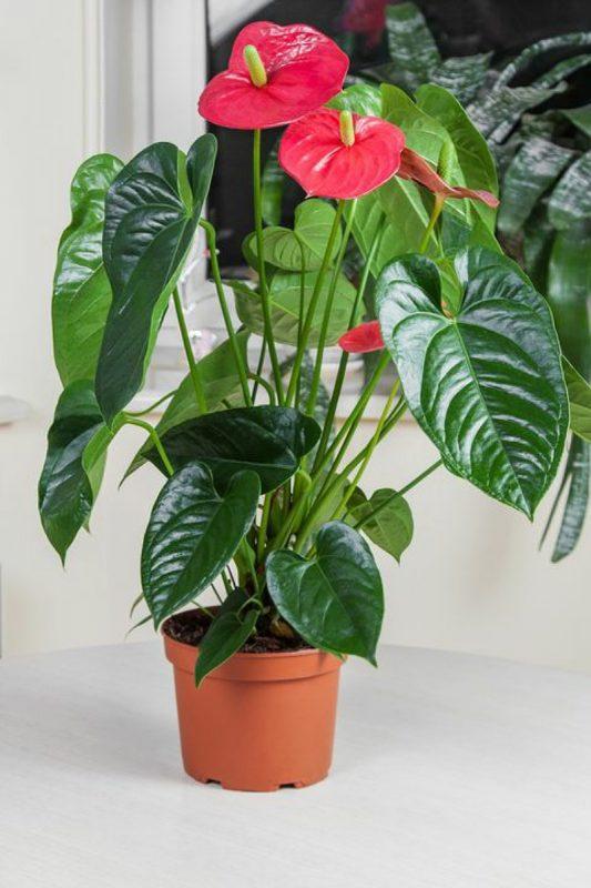 نباتات تناسب غرفة الحمام : نبات انتوريوم