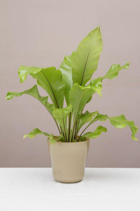 نباتات تناسب غرفة الحمام : نبات سرخس عش الطائر