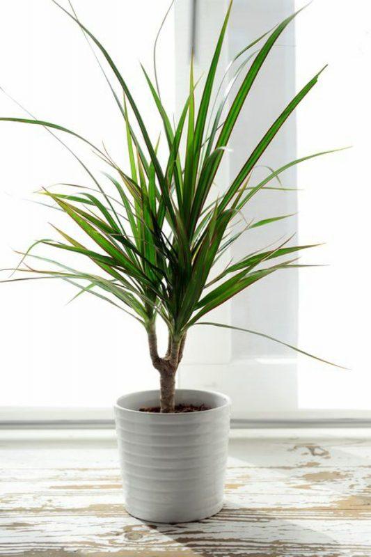 نبات دراكاينا