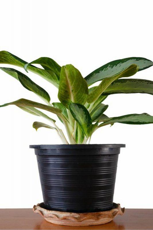 نباتات تناسب غرفة الحمام : نباتات أجلونيما