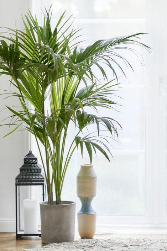 نبات جلالة النخيل